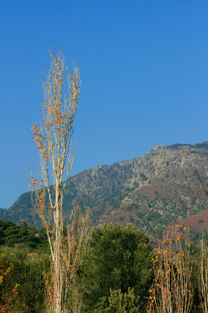 arbol alamo: Poplar Tree, Turkey, Akcay, Mountain, Pasture