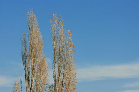 Poplar Tree, Turkey, Akcay, Blue Sky Stock Photo