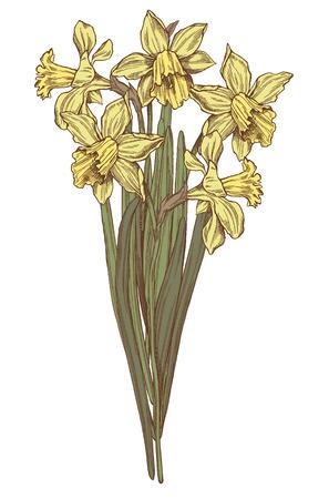 Vector hand drawn daffodils illustration