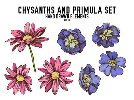 Vector collection of hand drawn colored  chrysanths, primula