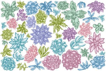 Vector set of hand drawn pastel succulent echeveria, succulent echeveria, succulent stock illustration Stock Illustratie