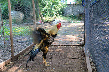 cockfighting: Cockfighting chicken in nature