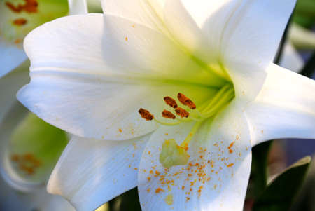 white lilly: white lilly flower blossom in the garden Stock Photo