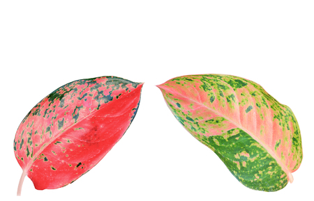 limp: Colorful leaves texture isolated on white background