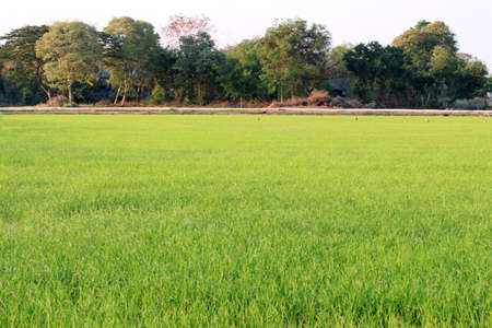 rice fields: the paddy rice fields flare sunlight background