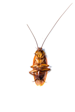 revolting: Close up of a cockroach on white background.