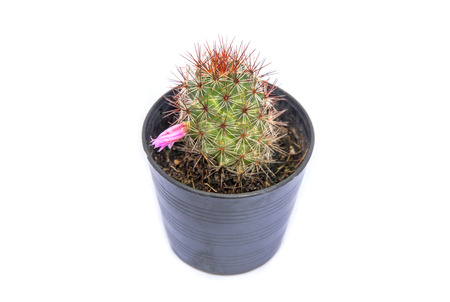 Small green cactus in a flower pot on white background Stock Photo
