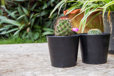 Small green cactus in a black pot on garden background