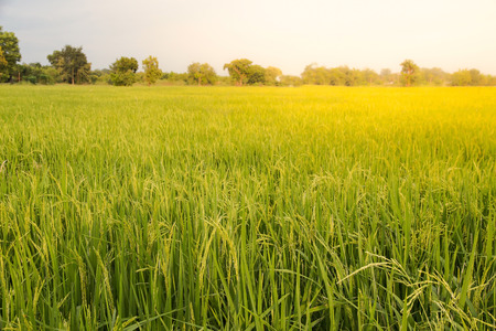 Close up of green paddy rice,Blur Paddy rice field in the morning background