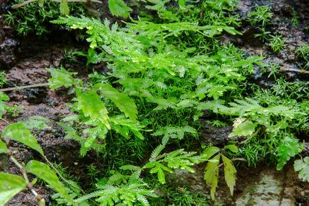 Leaf of fern shrubs,Pteridium aquilinum Stock Photo