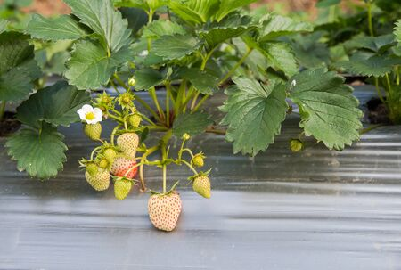 stawberry farm use plastic agriculture on the ground Square format Stock Photo