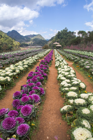 Purple and white Ornamental Cabbage plants in flower pot at Doi Angkhang royal project,Chiangmai,Thailand