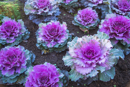 Purple Ornamental Cabbage plants in flower pot at Doi Angkhang royal project,Chiangmai,Thailand Stock Photo