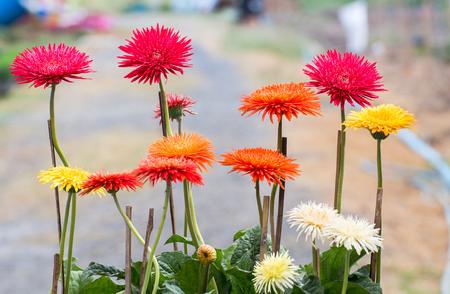 beauty color chrysanthemum flowers close up,daisy flower
