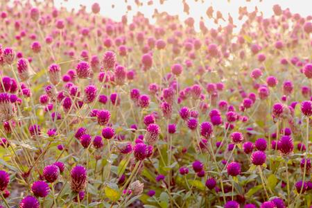 Purple amaranth flower in the garden with sunlight fair Stock Photo