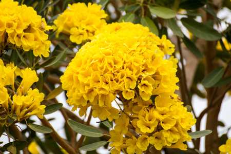 cotton bud: beautiful yellow flowers tree