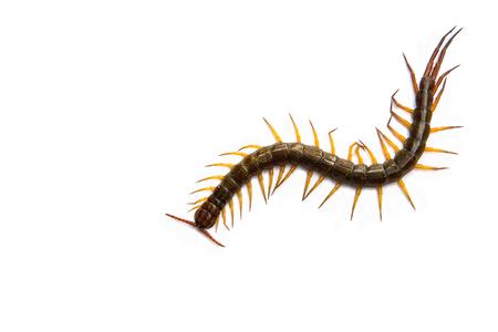 lombriz de tierra: Ciempiés delante de fondo blanco, gusano