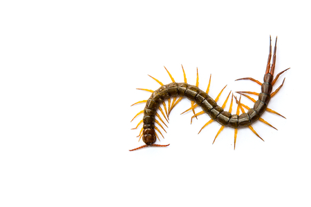 segmented bodies: Centipede in front of white background,worm Stock Photo