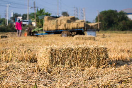 Rice straw bales on rice field and farmer working,natural design farmming concept