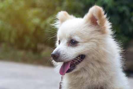 Adorable Pomeranian dog on nature background,portrait of a dog
