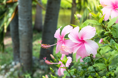 Close up of Beautiful Hibiscus,Chaba flower in blooming in the garden