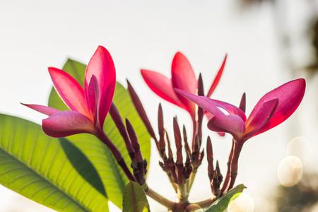 Red Plumeria flowers beautiful,frangipani blur background