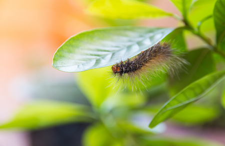Worm eating the leaf on green leaf blur background,Caterpillars eating leaves Stockfoto - 116130164