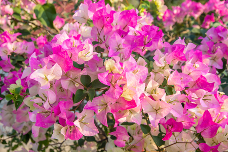 colorful bougainvillea flower (tropical flowers).Flower field beautiful in the gardening of background