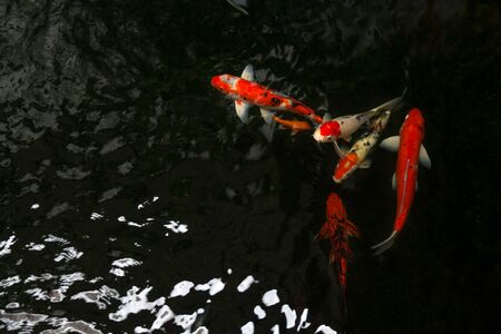 The beautiful koi fish swimming in dark pool,Fancy carps fish or Koi swim in pond in the garden