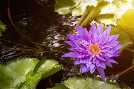 Beautiful Purple lotus Water lily with green leaves in pond Stockfoto