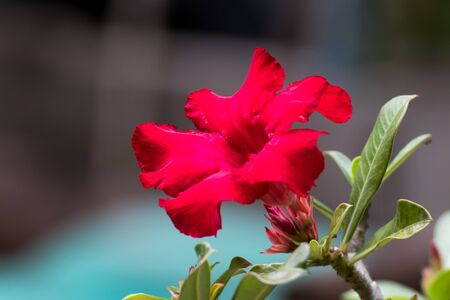 Blooming Pink Rhododendron or Pink bignonia flowers on background,Azalea flowers