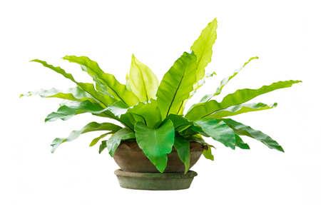 Governor fern (Asplenium nidus) or Bird's nest fern plant in big ceramic pot on white background Foto de archivo