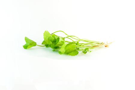 plants species: Centella asiatica specie di piante medicinali. Può essere consumato fresco o succo di bere solo acqua.