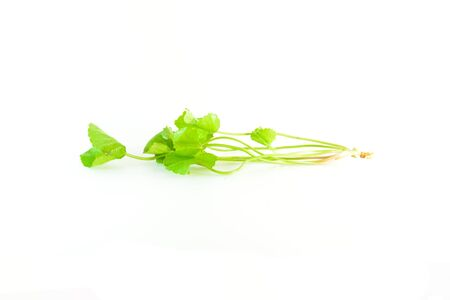plants species: Centella asiatica species of medicinal plants. Can be eaten fresh Or the juice drink only water. Stock Photo