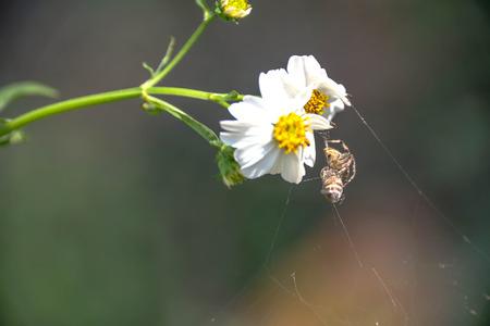 golden orb weaver: Spider eating it alone.