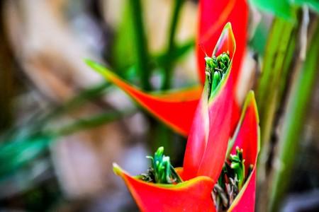 bloom bird of paradise: Bird of Paradise flower bloom red. Stock Photo