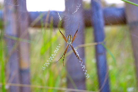 golden orb weaver: Spider webs perched on it create up to catch its food.