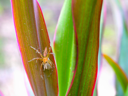 golden orb weaver: Spider hiding in foliage color similar to its own. Stock Photo