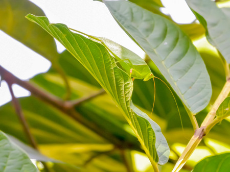 caelifera: Grasshopper grip on large leaves to camouflage it. Stock Photo