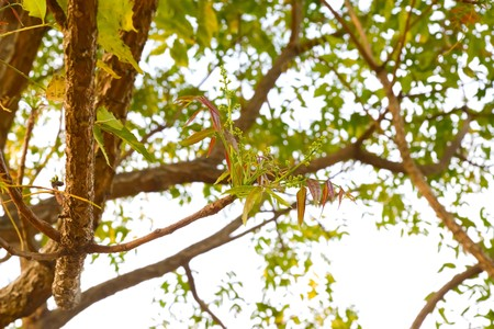 neem: Neem tree canopy Medium bloom once a year. Neem flowers can be eaten both raw and cooked.