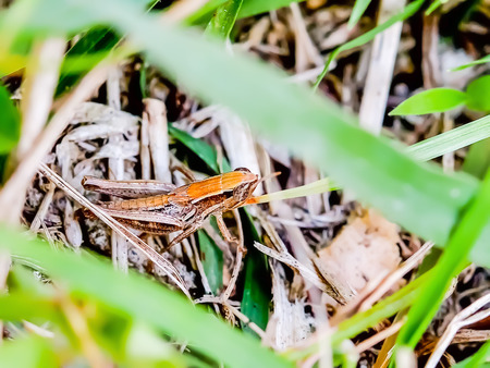 enemies: Grasshopper hiding in the grass to avoid the enemies that will attack it. Stock Photo