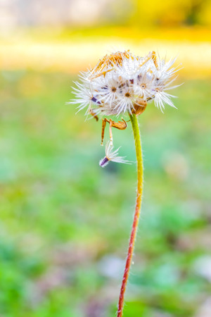 blow out: When the grass is going to let the wind blow out its seeds to fall on the area from the beginning of it.