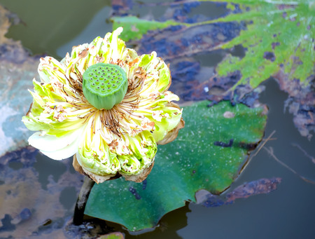 come up: When the lotus petals will fall away and come up with seed pods, seeds can be eaten.