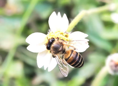 nectar: The bee is collecting nectar from flowers. Stock Photo
