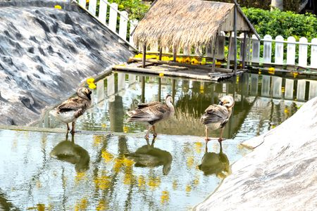 strangers: Geese as pets swim very well and were aggressive with strangers.