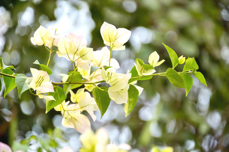 bougainvilleas: Bougaville flowers that look no beauty. Naturally, therefore, the petals are beautiful. Stock Photo