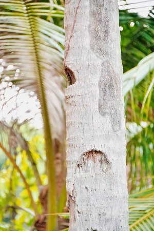 notch: Coconut trees are a notch above the bar for ease of climbing picking coconuts.