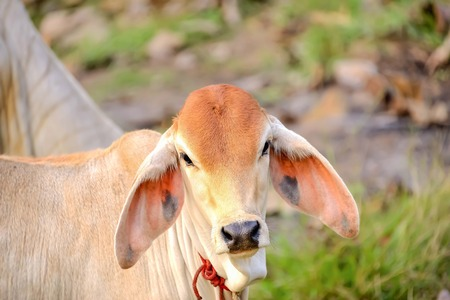 Currently, cattle were fed a diet that can provide both meat and milk.