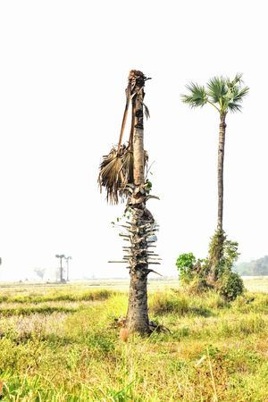 sugar palm: A palm tree has a tree-like branches can not be mixed. Stock Photo