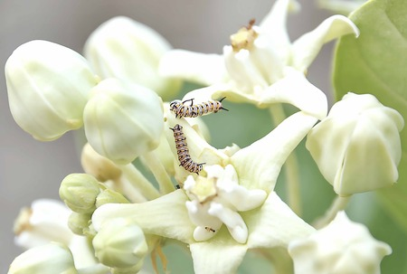 tomato caterpillar: There are two worms are eating the flowers.